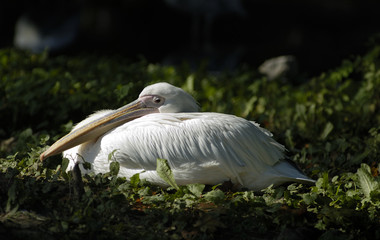 White pelican in zoo. Kaliningrad, Russia.