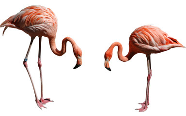 Aluminium Prints Flamingo flamingos with white background