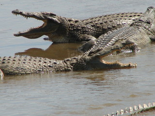 Printed roller blinds Crocodile Krokodile