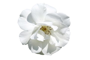 beautiful white rose isolated on white background