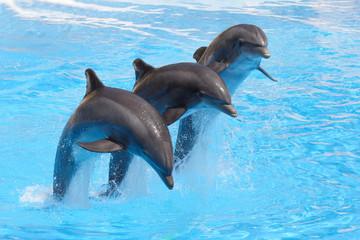 Photo sur Aluminium Dauphins Trio of Dolphins