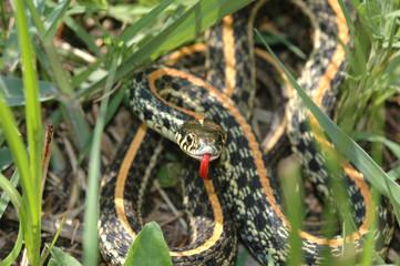 Western plains garter snake