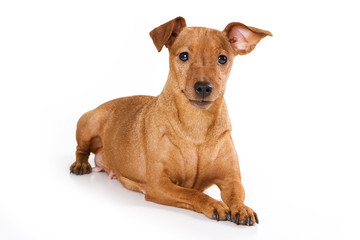 Brown pinscher dog