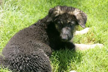 German shepherd puppie