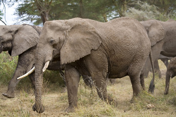 Wall Mural - African Elephants