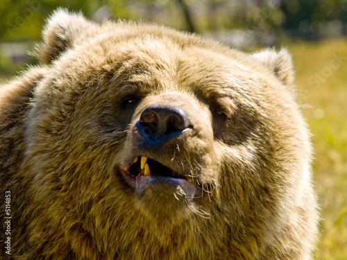 видео рычащего белого медведя