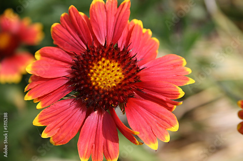 Deep orange flower with yellow tips stock photo and royalty free deep orange flower with yellow tips mightylinksfo