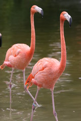 flamingo friends looking for food