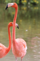 flamingo waiting for a meal