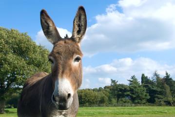 Donkey - Esel