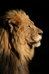 Big male African lion (Panthera leo)