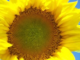 close up large sunflower