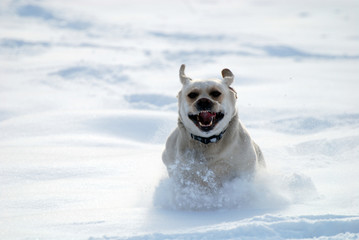 Labrador retriever run in deep snow