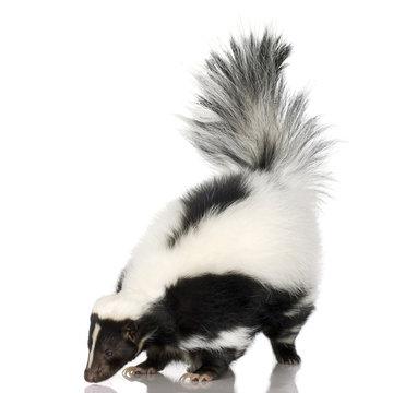 Striped Skunk - Mephitis mephitis