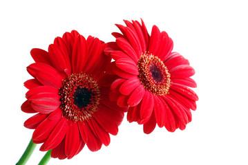 red gerber flowers