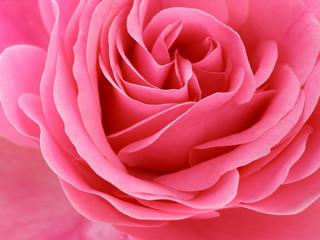 In de dag Macro pink rose
