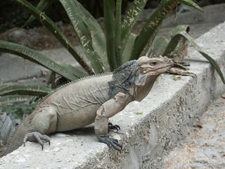iguane cornu du lac Enriquillo