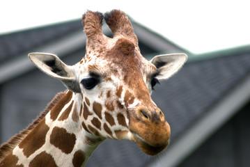 Girafface
