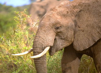 Wall Mural - African Elephant Close Up