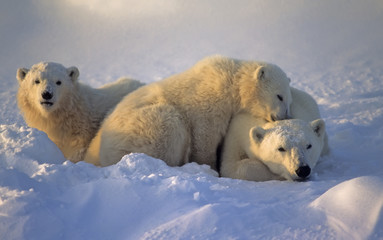 Poster Ijsbeer Polar bear with her cubs