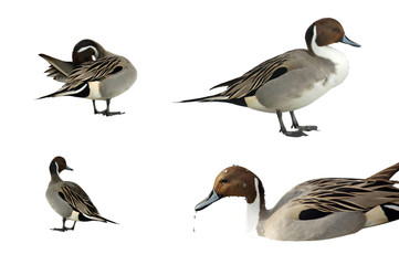 Pintail ducks isolated on white