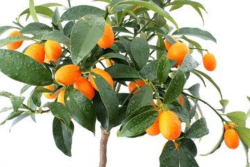 Kumquat tree on white