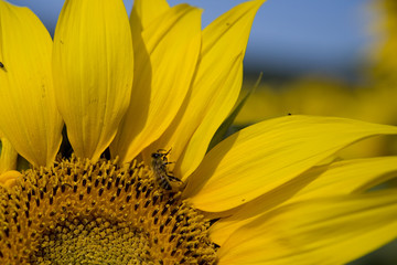 Girasole Sunflower