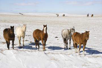 Horses in snowy pasture.