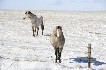Two horses in snowy pasture behind fence.