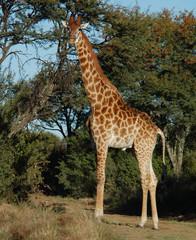 Giraffe full lenth photo
