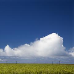 Sugarcane crop  in Maui.