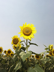 Yellow sunflower field.