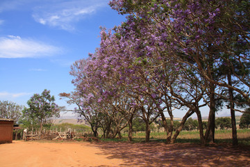 The Jacaranda trees in full bloom