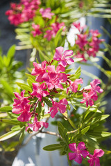 Plant with pink flowers growing beside white picket fence.