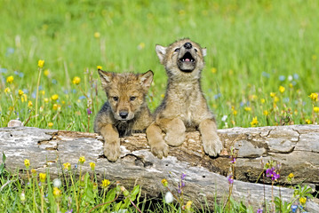 Baby wolf cubs near their den site. One howling for his mother.