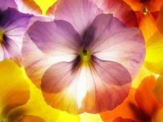 Poster de jardin Macro close-up of colourful viola tricolor against white background