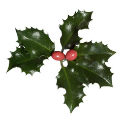 Holly leaves and berries (Ilex aquifolium)