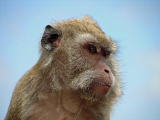 Portrait de macaque