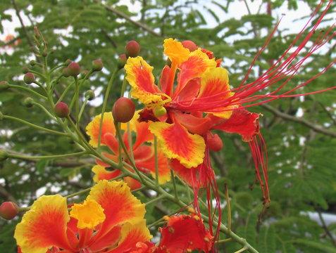 Fleurs de petit flamboyant
