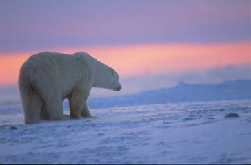 Polar bear at sunset. Canadian Arctic.