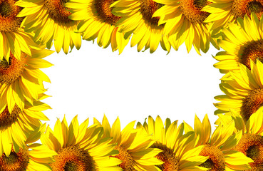 The sunflowers frame on white background area