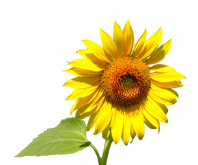 The sunflower, isolate on white background area