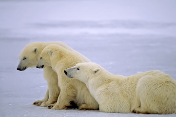 Polar bear with her yearling cubs on a frozen lake