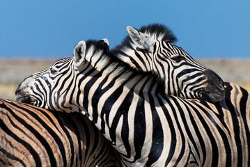 Keuken foto achterwand Zebra Zebras in Love