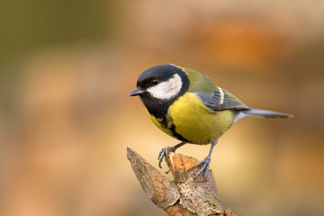 Deurstickers Vogel great tit (aka parus major) on a stick