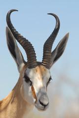 Foto auf Gartenposter Antilope Springbok