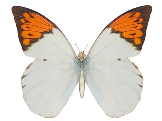 Illustration of a butterfly, Great Orange Tip, ray-traced image
