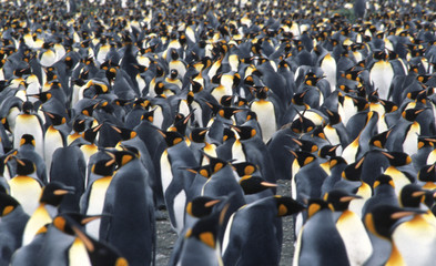 Printed kitchen splashbacks Antarctic Close up of a king penguin colony in Salisbury Plain