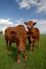 Pair of Range Cows Under American Western Skys