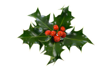 isolated on white ilex,holly, christmas decoration